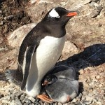 Proud parent travel antarctica penguin